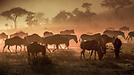 A cloud of dust rises from the southern Serengeti Plain in Tanzania as large herds of Burchell's zebras and common wildebeests move toward a nearby waterhole.
