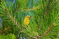592240001 a wild male pine warbler setophaga pinus - was dendroica pinus - perches in a long leaf pine  pinus palustris in the angelina national forest in jasper county east texas united states.