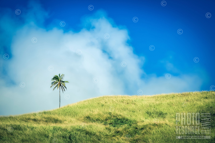 A lone coconut tree at the top of a green hill on Aitutaki Island, Cook Islands.