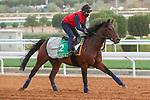 RIYADH, SA February 19 2021: BANGKOK (IRE) Track work from King Abddulaziz Racetrack, Riyadh, Saudi Arabia. Shamela Hanley/Eclipse Sportswire/CSM