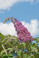 Butterfly Bush Buddleja davidii aka Buddleja davidii 'Bicolor' against blue sky and clouds