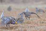 Sharp-tailed grouse dancing for a female on a lek in the Namekagon Barrens.