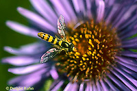 1D03-033z  Flower Fly - (Hover Fly) - pollinating  Aster flower