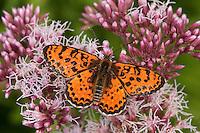 Roter Scheckenfalter, Feuriger Scheckenfalter, Blütenbesuch, Nektarsuche, Männchen, Melitaea didyma, spotted fritillary