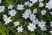Busch-Windröschen, Buschwindröschen, Busch - Windröschen, Anemone nemorosa, Wind Flower, Wood Anemone, Frühjahrsblüher