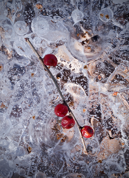 A winterberry branch rests on a sheet of cracked ice in Acadia National Park, Maine, USA