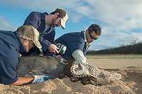 NOAA researcher Dr. Charles Littnan (center) attaches a Crittercam and tracking instrumentation package to a Hawaiian monk seal, Neomonachus schauinslandi, Critically Endangered endemic species, west end of Molokai, Hawaii, photo taken under NOAA permit 10137-6, Ho ike a Maka Project