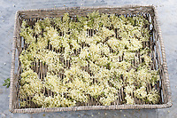 Holunderblüten, Holunderblüte, Holunder-Blüte, Blüten, Ernte, zum Trocknen gesammelt. Schwarzer Holunder, Sambucus nigra, Fliederbeeren, Fliederbeere, Common Elder, Elderberry, Sureau commun, Sureau noir