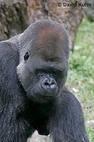 0210-08qq  Western Lowland Gorilla, Gorilla gorilla gorilla © David Kuhn/Dwight Kuhn Photography