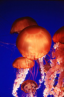 Jellyfish.(family Pelagiidae)