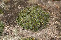 Polster-Kissenmoos, Polsterkissenmoos, Gemeines Kissenmoos auf einer Steinmauer, Grimmia pulvinata, Grimmia en coussin, pulvinate dry rock moss