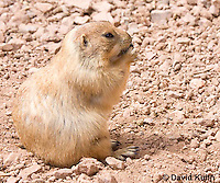 0721-1114  Black-tailed Prairie Dog Eating Seed or Root, Cynomys ludovicianus  © David Kuhn/Dwight Kuhn Photography