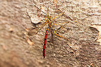 A male Giant Ichneumon Wasp (Megarhyssa atrata) perches on the side of a fallen tree.