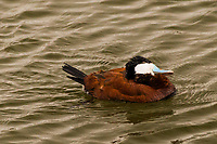 A Ruddy duck tilts and rubs its head while paddling around a neighborhood park's pond.