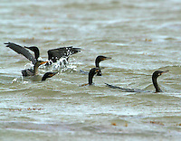 Flock of neotropic cormorants fishing in surf at Bolivar Point, TX