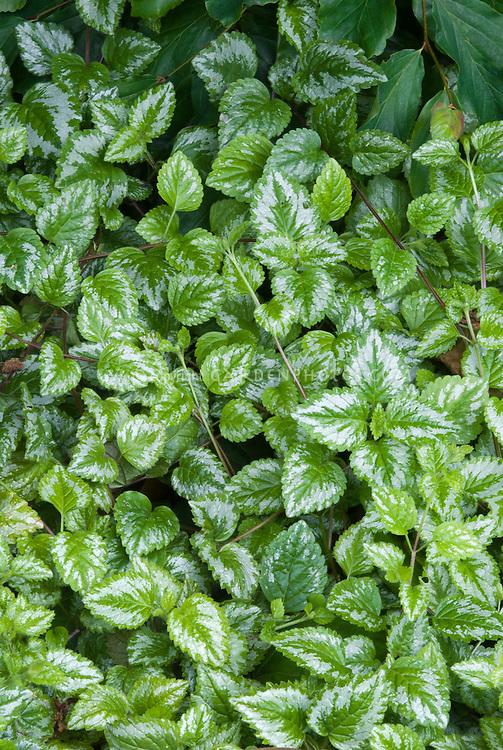 Lamium galeobdolon, archangel groundcover, variegated low growing perennial