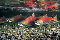 Spawning Sockeye Salmon, Oncorhynchus nerka, also called red salmon Southeast, Alaska