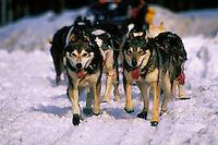 A panting Iditarod sled team. Alaska.