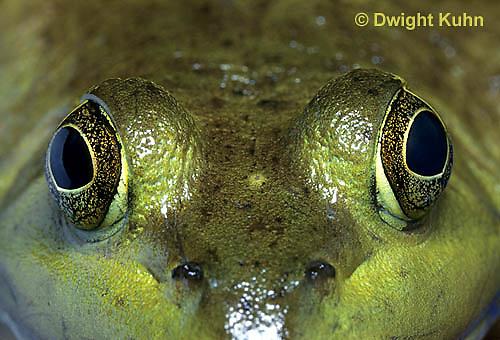 FR08-011b  Bullfrog - close up of eyes - Lithobates catesbeiana, formerly Rana catesbeiana