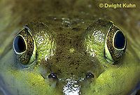 FR08-011b  Bullfrog - close up of eyes - Lithobates catesbeiana, formerly Rana catesbeiana