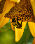 Bumblebee on a Sunflower. Image taken with a Nikon 1 V3 camera and 70-300 mm VR lens