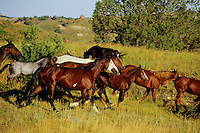 Wild Horses running in Theodore Roosevelt National Park, North Dakota.  Summer..(Equus caballus)