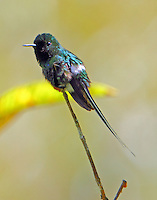 Male green thorntail