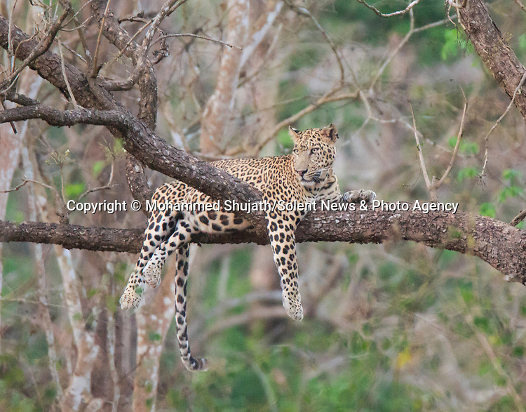 "Pictured: A lazy leopard takes a snooze on a branch 30ft up a tree.   The big cat was sleepy after a heavy meal and dozed off draped over the Indian laurel tree in India's Nagarahole Tiger Reserve.<br /> <br /> Keen amateur photographer Mohammed Shujath took photos of the lethargic male after visiting the park, in the Kabini region.   The 31 year old, from Bangalore, said: ""I watched him for 10 minutes. He is a male called Scarface and he was just lying on the branch after a heavy meal.  SEE OUR COPY FOR DETAILS<br /> <br /> Please byline: Mohammed Shujath/Solent News<br /> <br /> © Mohammed Shujath/Solent News & Photo Agency<br /> UK +44 (0) 2380 458800"
