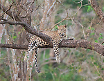 """Pictured: A lazy leopard takes a snooze on a branch 30ft up a tree.   The big cat was sleepy after a heavy meal and dozed off draped over the Indian laurel tree in India's Nagarahole Tiger Reserve.<br /> <br /> Keen amateur photographer Mohammed Shujath took photos of the lethargic male after visiting the park, in the Kabini region.   The 31 year old, from Bangalore, said: """"I watched him for 10 minutes. He is a male called Scarface and he was just lying on the branch after a heavy meal.  SEE OUR COPY FOR DETAILS<br /> <br /> Please byline: Mohammed Shujath/Solent News<br /> <br /> © Mohammed Shujath/Solent News & Photo Agency<br /> UK +44 (0) 2380 458800"""