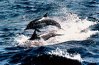 BOTTLENOSE DOLPHINS RIDE THE BOW OF OUR DIVE BOAT IN THE SEA OF CORTEZ OR THE GULF OF CALIFORNIA WHICH LIES BETWEEN THE BAJA AND THE MAINLAND OF MEXICO.
