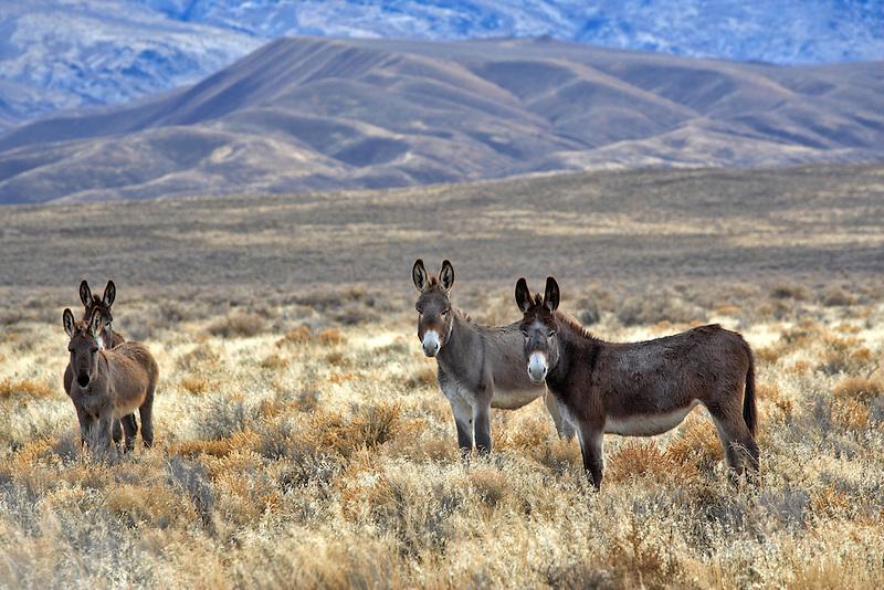 Wild burros. Near Dinio, Nevada