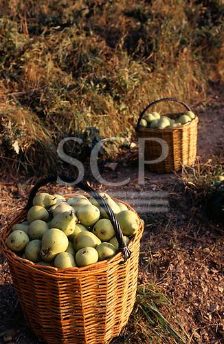 Usti nad Labem, Czech Republic. Large baskets of freshly harvested pears.