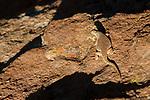 Lizard (Liolaemus sp) basking, Abra Granada, Andes, northwestern Argentina