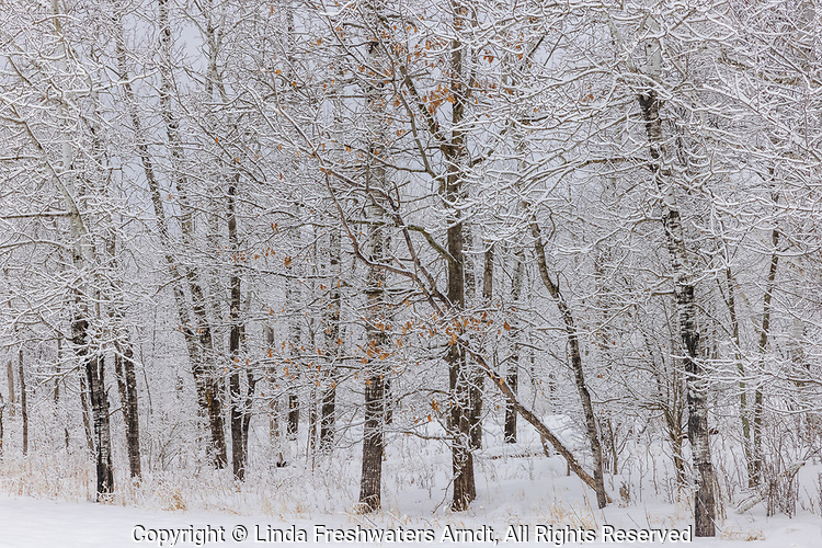 Snow-covered trees in northern Wisconsin.