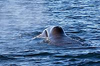bowhead whale, Balaena mysticetus, surfacing and spouting, Franz Josef Land, Arctic Circle, Russia, Barents Sea, Arctic Ocean