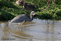 0126-08vv  Tricolored Heron Hunting for Prey Swallowing Fish, Louisiana heron, Egretta tricolor [See Sequence of Images, 0126-08ss, 0126-08tt, 0126-08uu, 0126-08vv]  © David Kuhn/Dwight Kuhn Photography