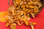 Chanterelle mushrooms