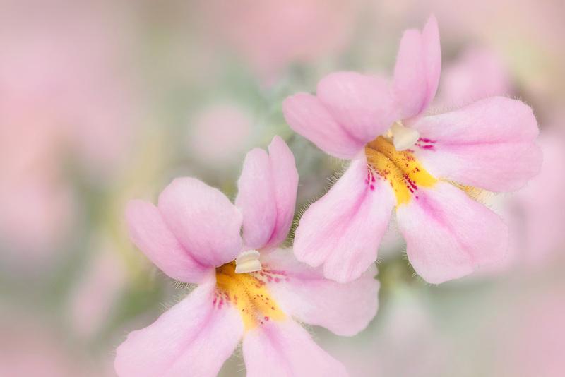 Close up of monkey flowers (Mimulus Lewisiix cardinalis). Oregon