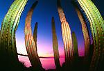 Organpipe cactus, Baja California, Sea of Cortez, Mexico