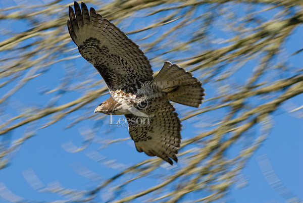 Immature Red-tailed Hawk (Buteo jamaicensis).  Western U.S., fall.