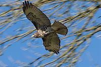 Immature Red-tailed Hawk (Buteo jamaicensis).  Western U.S., fall.