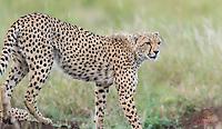 Young male Cheetah (Acinonyx jubatus) exits termite mound, Lewa