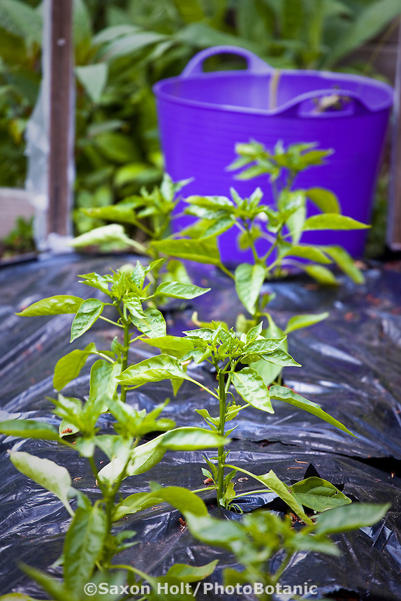 Young pepper plants in organic garden with black row cover to warm soil; Elvin Bishop garden