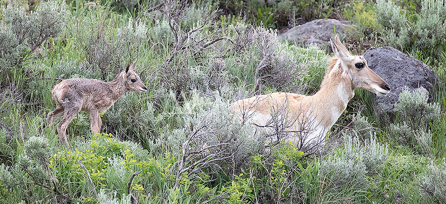 This fawn was no more than an hour old when I encountered it and its mother in a rain storm.