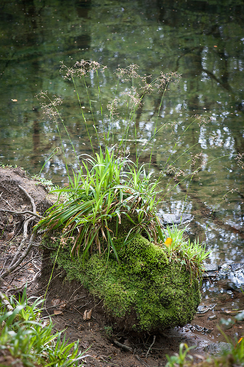 Great wood-rush (Luzula sylvatica), banks of River Dart, Hembury Woods, Devon, late April.