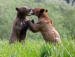 Sequence 3 of 9:  Young bears look like they're dancing as they play fight in the morning sun.  The two animals had just swum across an inlet in the Khutzeymateen Grizzly Bear Sanctuary in Canada's British Colombia when they indulged in some horseplay.<br /> <br /> The images were captured by amateur wildlife photographer Danny Sullivan.  SEE OUR COPY FOR DETAILS.<br /> <br /> Please byline: Danny Sullivan/Solent News<br /> <br /> © Danny Sullivan/Solent News & Photo Agency<br /> UK +44 (0) 2380 458800