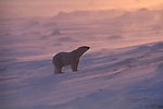 Snow blowing around a polar bear is back lit by the sun.