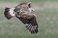 Rough-legged Hawk flying over a field