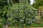 15901-CC California or Blue Elderberry, Sambucus mexicana, in landscape in August at Luther Burbank Home & Garden, Santa Rosa, CA USA