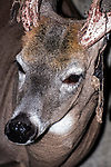 White-tailed Deer buck close-up of face with velvet hanging from antlers